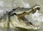 CROCODILE PHOTO/COURTESY