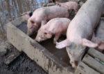 pigs photo/ courtesy