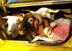 GOATS IN CAR BOOT [PHOTO | COURTESY]